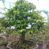 3 nguyên tắc bón phân cho cây mai ghép trồng chậu