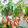 Cách gây trồng cây bắt ruồi