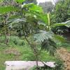Hướng dẫn cách trồng cây sa kê