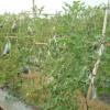 Mô hình trồng dưa hấu leo giàn
