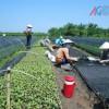 Ứng dụng kỹ thuật vào sản xuất rau an toàn