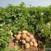 Trồng khoai tây che phủ xác thực vật