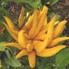 Vị thuốc từ trái Phật thủ