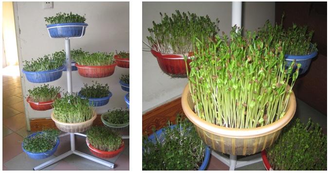 buoc-10-trong-rau Hướng dẫn cách trồng rau mầm