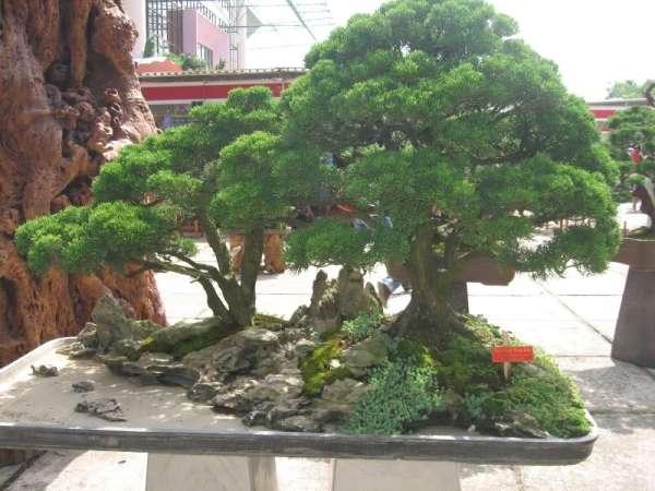 caycanhviet-bonsai-03 Cây ngũ sắc – màu hoa rực rỡ