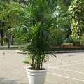 Cau-haiwaii-120x120 Cách chăm sóc cây cảnh trong chậu