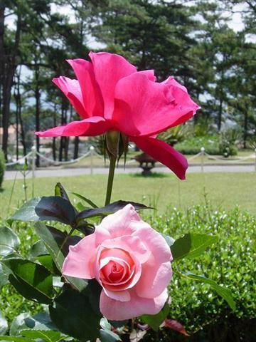 Hong1 Hoa hồng leo