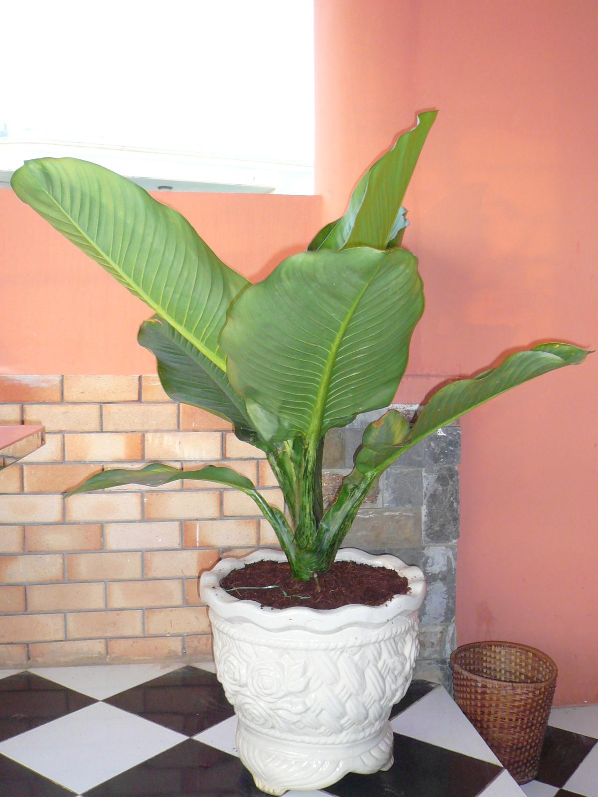 P1050986-1 Cách chăm sóc cây cảnh trong chậu