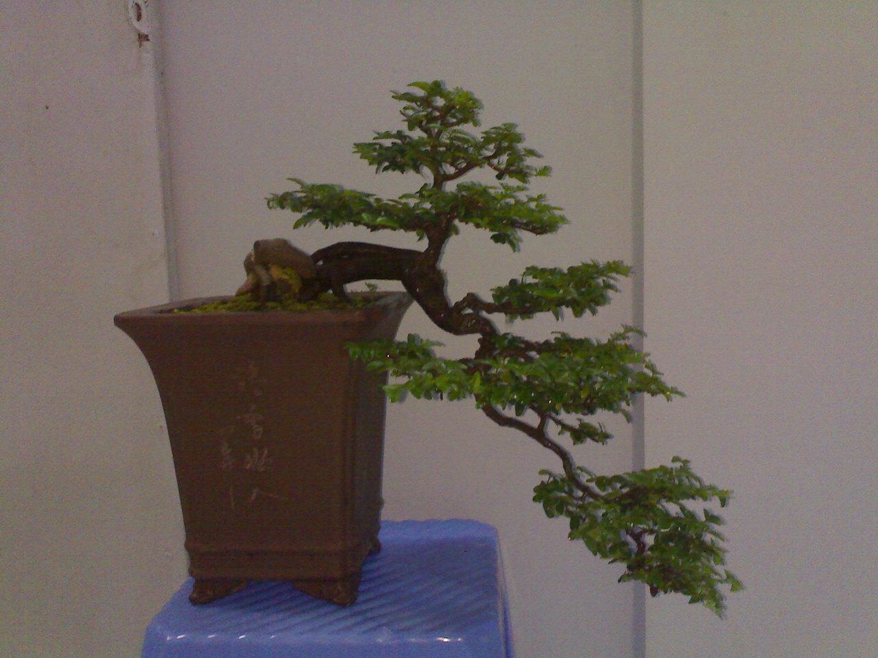bs2 Trồng cây Sanh làm bonsai