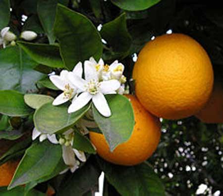 cam Cây rau ngót - Vị thuốc tăng sức đề kháng