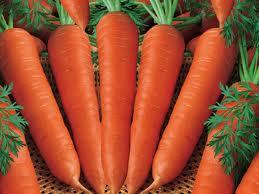 carot1 Cà rốt trồng theo cách an toàn