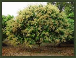 cayxoai-11 Dinh dưỡng cho cây xoài giai đoạn ra trái