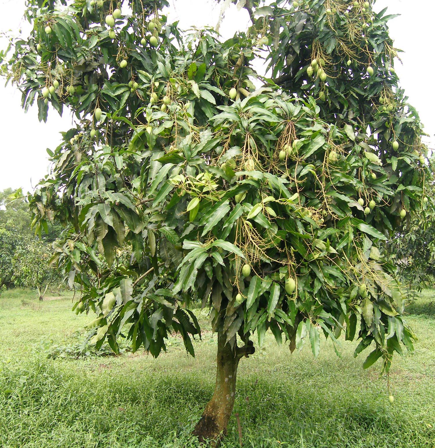 cayxoai Phát triển giống cây cần sa mới ít gây nghiện