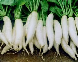 cucai Hướng dẫn cách trồng củ cải trắng