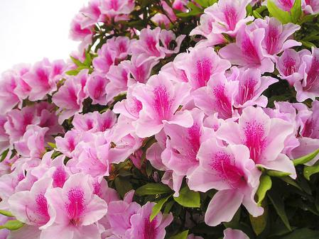 doquyen1 Cách đơn giản trồng và chăm sóc hoa hồng tại nhà