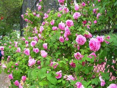 hongleo Cách đơn giản trồng và chăm sóc hoa hồng tại nhà