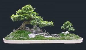 Chiết cành và tạo hình bonsai trong chậu