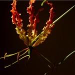 ngacngeo-112-150x150 Lily Gloriosa (hoa ngót nghẻo) - sức quyến rũ đầy nguy hiểm