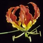 ngacngeo-131-150x150 Lily Gloriosa (hoa ngót nghẻo) - sức quyến rũ đầy nguy hiểm