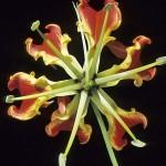 ngacngeo-141-150x150 Lily Gloriosa (hoa ngót nghẻo) - sức quyến rũ đầy nguy hiểm