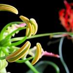 ngacngeo-161-150x150 Lily Gloriosa (hoa ngót nghẻo) - sức quyến rũ đầy nguy hiểm