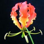 ngacngeo-191-150x150 Lily Gloriosa (hoa ngót nghẻo) - sức quyến rũ đầy nguy hiểm