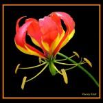 ngacngeo-210-150x150 Lily Gloriosa (hoa ngót nghẻo) - sức quyến rũ đầy nguy hiểm