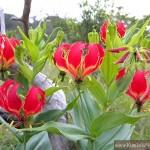 ngacngeo-291-150x150 Lily Gloriosa (hoa ngót nghẻo) - sức quyến rũ đầy nguy hiểm