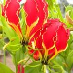 ngacngeo-301-150x150 Lily Gloriosa (hoa ngót nghẻo) - sức quyến rũ đầy nguy hiểm