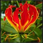 ngacngeo-313-150x150 Lily Gloriosa (hoa ngót nghẻo) - sức quyến rũ đầy nguy hiểm