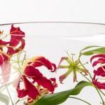 ngacngeo-381-150x150 Lily Gloriosa (hoa ngót nghẻo) - sức quyến rũ đầy nguy hiểm