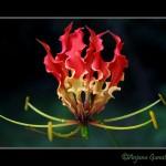 ngacngeo-52-150x150 Lily Gloriosa (hoa ngót nghẻo) - sức quyến rũ đầy nguy hiểm