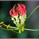 ngacngeo-61-150x150 Lily Gloriosa (hoa ngót nghẻo) - sức quyến rũ đầy nguy hiểm