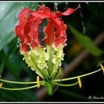 ngacngeo-71-150x150 Lily Gloriosa (hoa ngót nghẻo) - sức quyến rũ đầy nguy hiểm