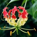 ngacngeo-91-150x150 Lily Gloriosa (hoa ngót nghẻo) - sức quyến rũ đầy nguy hiểm