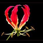 ngacngeo3-150x150 Lily Gloriosa (hoa ngót nghẻo) - sức quyến rũ đầy nguy hiểm