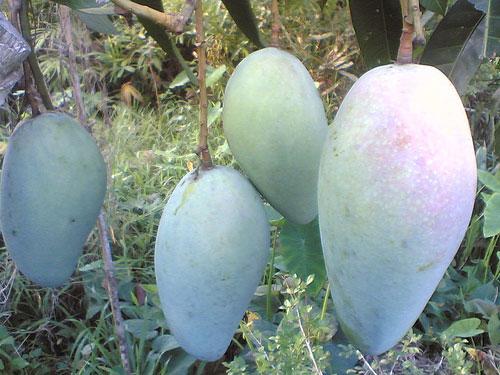 qua-xoai-dai-loan Dinh dưỡng cho cây xoài giai đoạn ra trái