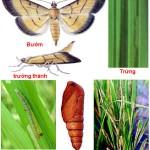 Chu trình sống của sâu ăn lá trên cây trồng