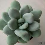 sen-da-150x150 Cây hoa Sen bàn tay - Sen đá