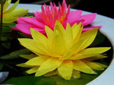 Súng màu hồng, vàng