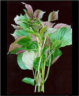 tia-to-1 Cây rau ngót - Vị thuốc tăng sức đề kháng