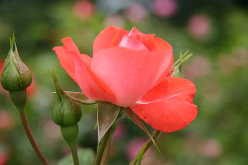 timuoi Ngắm hoa mười giờ nở