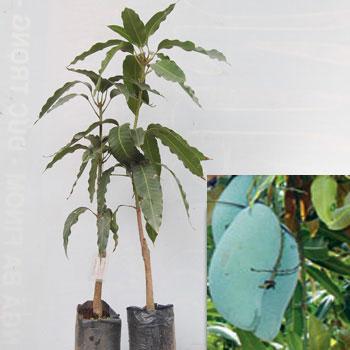 xoai_thai-lan Kỹ thuật bao trái cây trồng bằng giấy