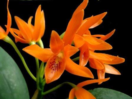 Cattleya-aurantiaca 3 cách để kích thích cây Lộc Vừng ra hoa
