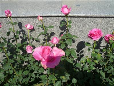 Hoa hồng Đà lạt