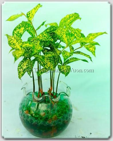 Chậu thủy tinh loe miệng kết hợp với hạt vật chất màu xanh và vàng- thêm một chút diệu đàng cho chậu cây