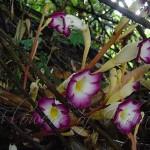 Loài kiết sơn-Christisonia tubulosa