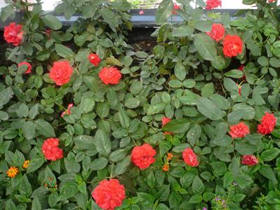 hoa Hồng lửa trồng bồn