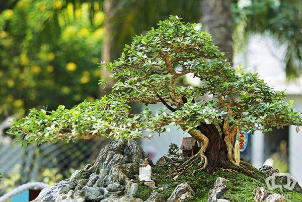 Bonsai - Linh sam - rêu -đá