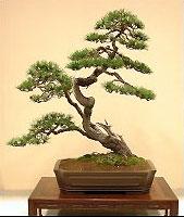 Việc tạo nhánh Bonsai tùy vào thời điểm và loài cây